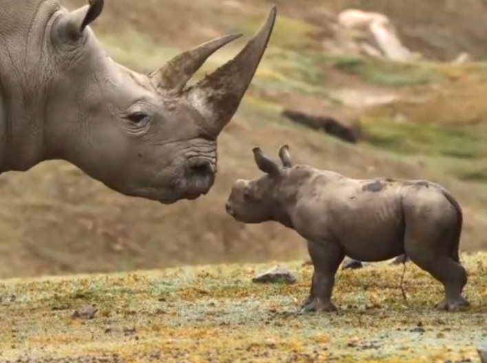 Safari Park San Diego: nasce un rinoceronte